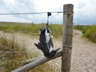 Guillemot hung from balloon litter. Photo: National Trust - Richard Gilbert