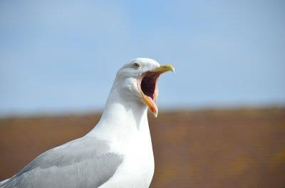Homer the seagull