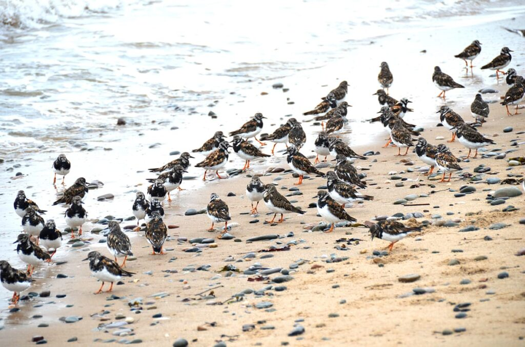 Turnstones on Rossall Beach Cleveleys