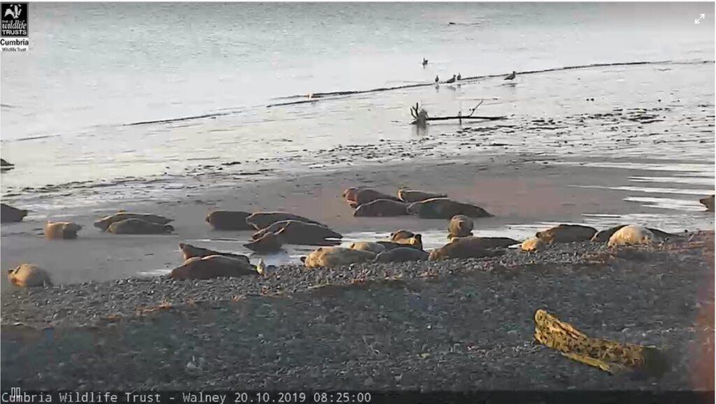 Seal Cam at Walney Island