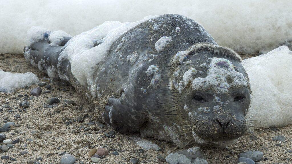 Baby seal on Cleveleys Beach. Photo: David Hewitt