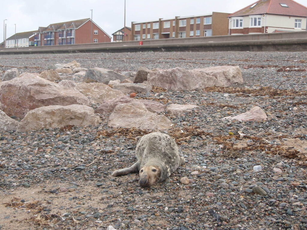 Seal visiting Rossall Beach at Cleveleys