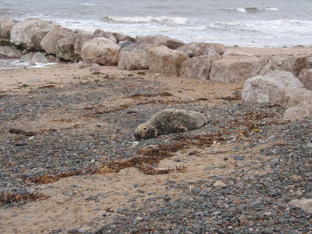 Seal at Cleveleys beach