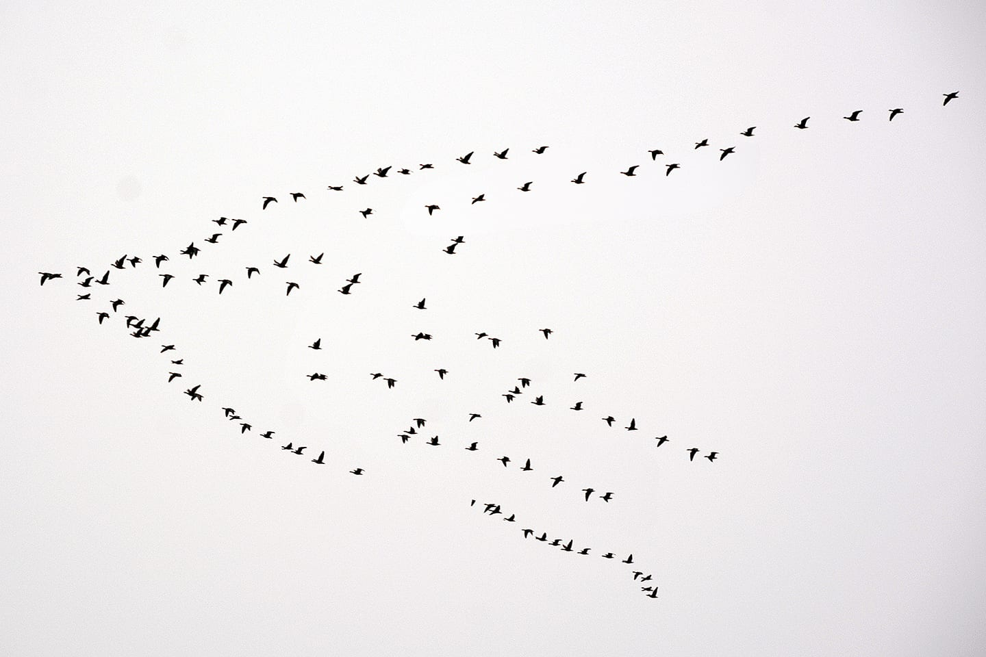 Skein of pink footed geese flying
